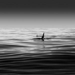 Orca - Alaska USA
